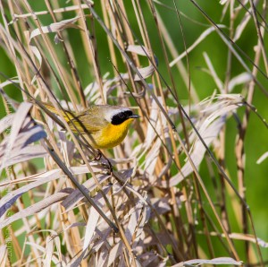 _X5A2092-Edit20130501RNWR   common yellowthroat