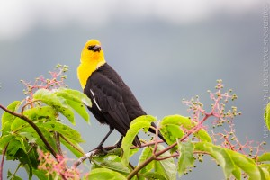 _X5A2771-Edit20130509RNWR  yellow-headed blackbird