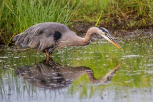 _X5A8972-Edit20130823RNWR   great blue heron