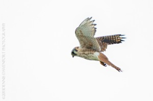 _X5A5215-Edit20131103RNWR  american kestrel flight