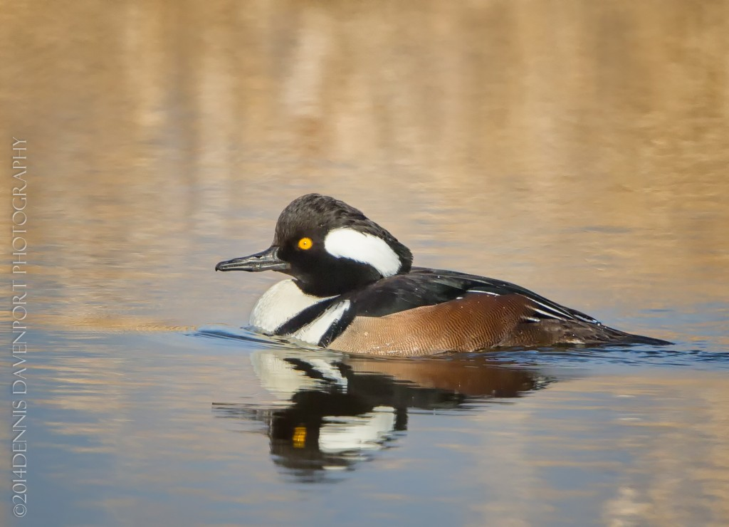 _X5A2587-Edit20140115RNWR  hooded merganser