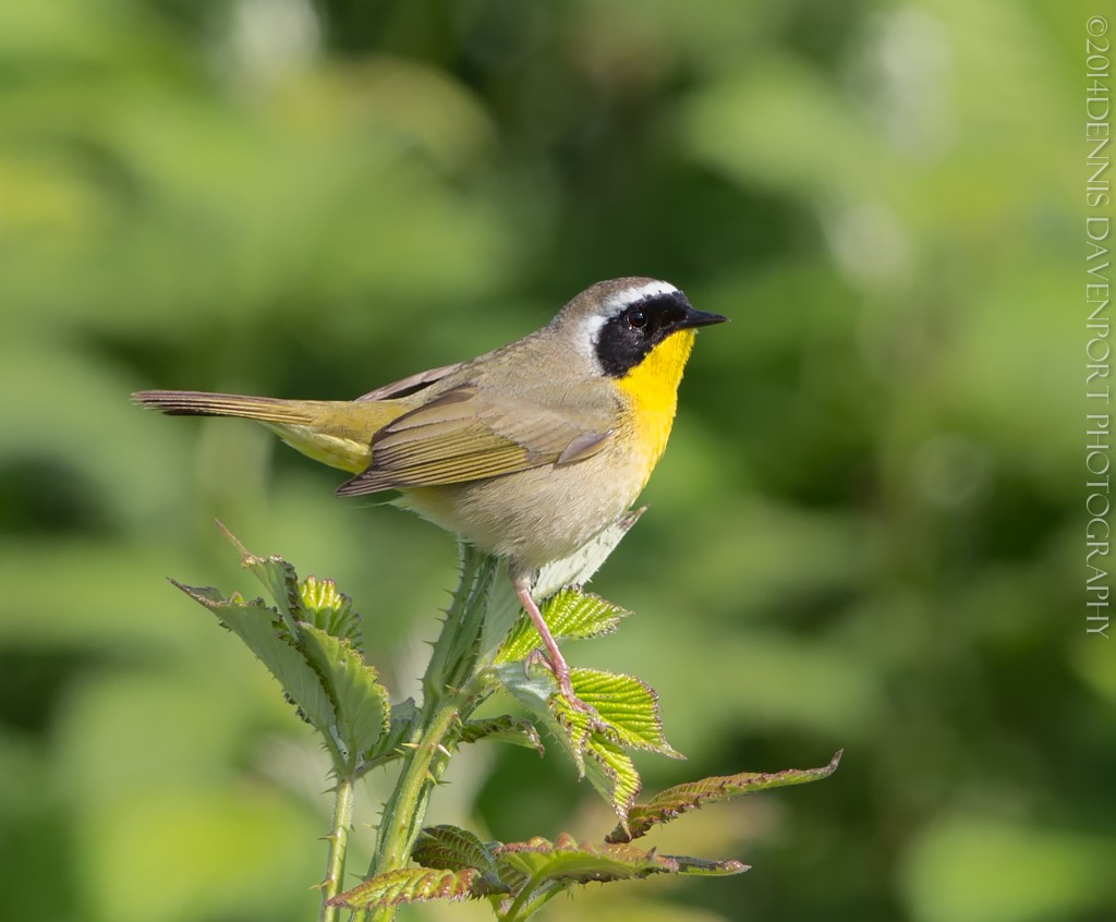 _X5A2125-Edit20140507RNWR   common yellowthroat
