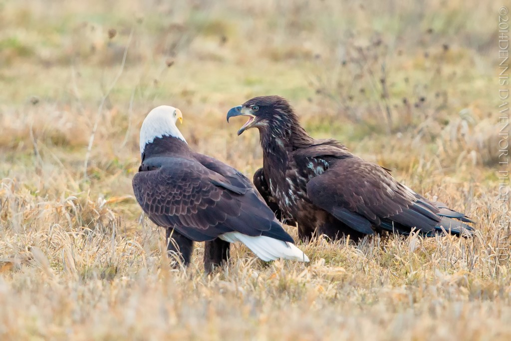 _15A1679-Edit20141229RNWR  bald eagles photo#4