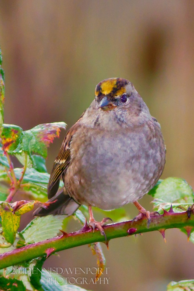 _MG_4150-Edit20111017RNWR golden-crowned sparrow
