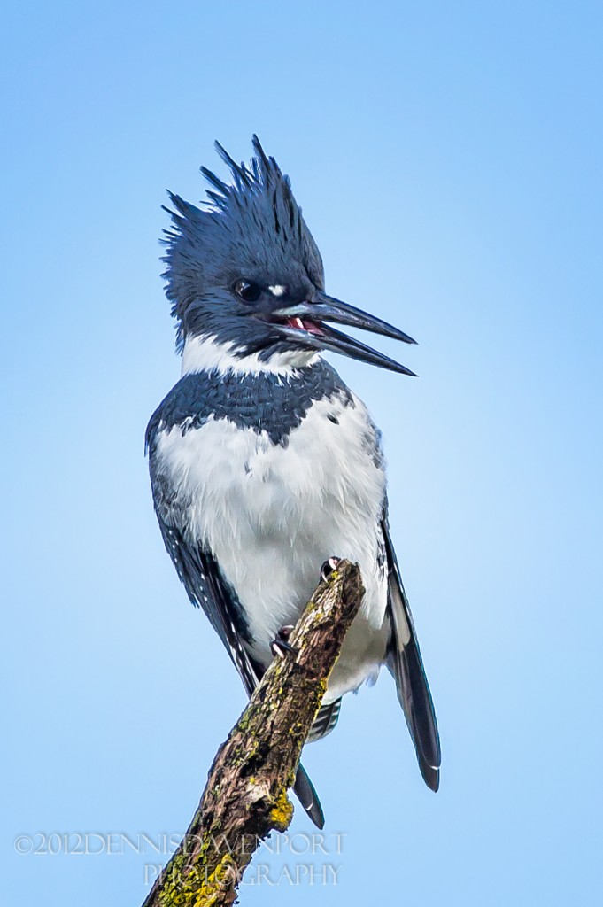 _5D30483-Edit20121107RNWR   belted kingfisher