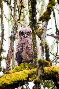 _X5A2916-Edit20130509RNWR  great horned owlet