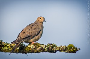 _X5A5371-Edit20130531RNWR   mourning dove