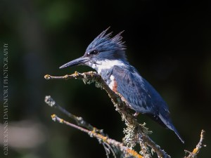 _X5A2570-Edit20130926RNWR   belted kingfisher