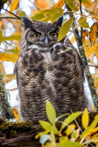 _X5A5444-Edit20131103RNWR   great horned owl