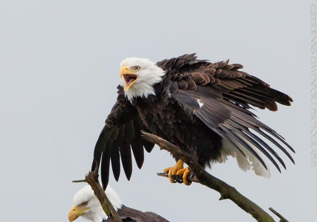 _X5A5945-Edit-Edit20131104RNWR  bald eagle