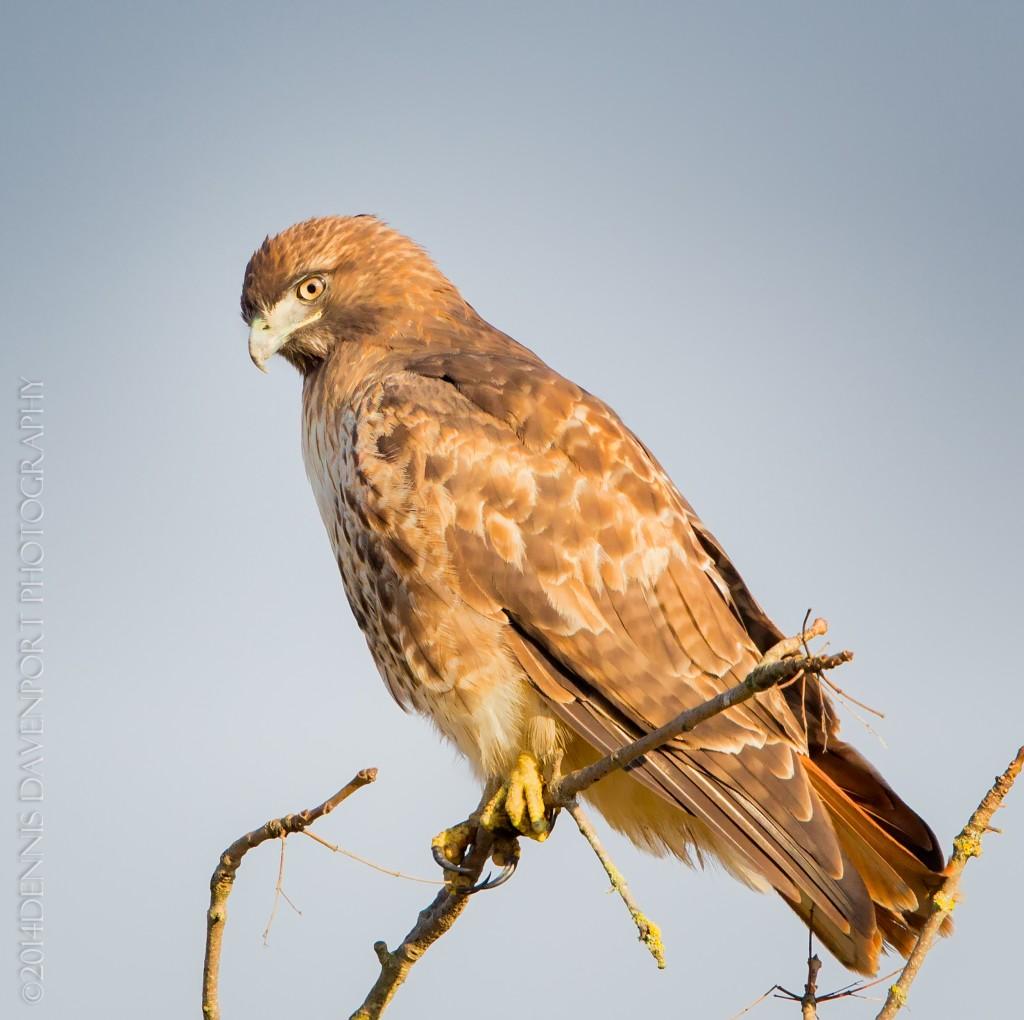 _X5A2739-Edit20140115RNWR  red-tailed hawk