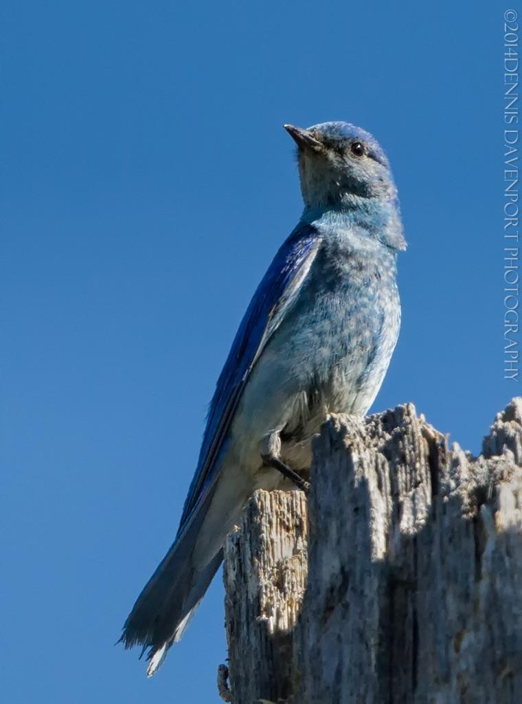 _15A9558-Edit20140707MHNF  Mountain Bluebird male