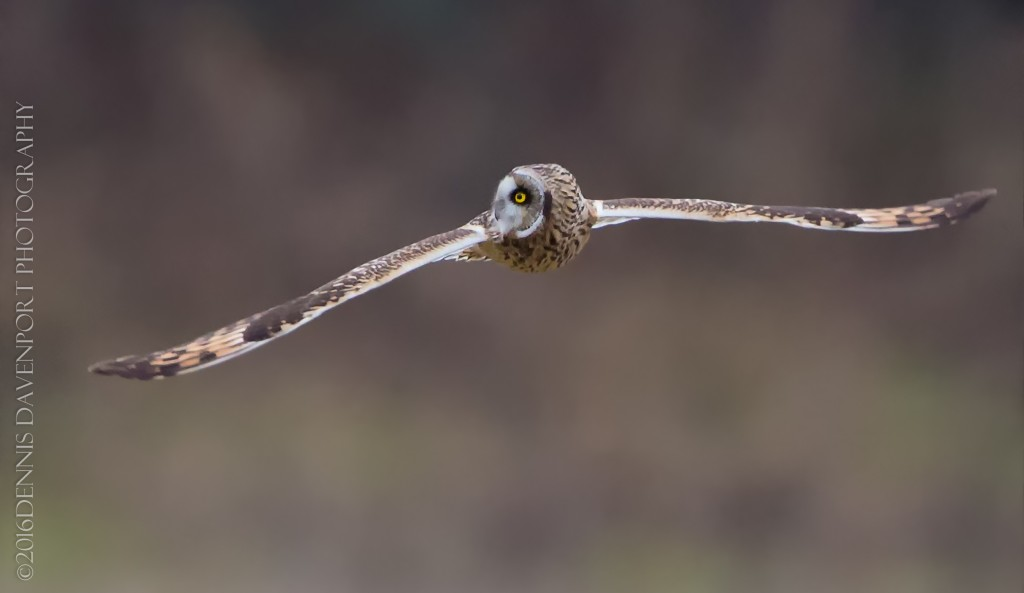 _15A8845-Edit20160115RNWR  short-eared owl flight
