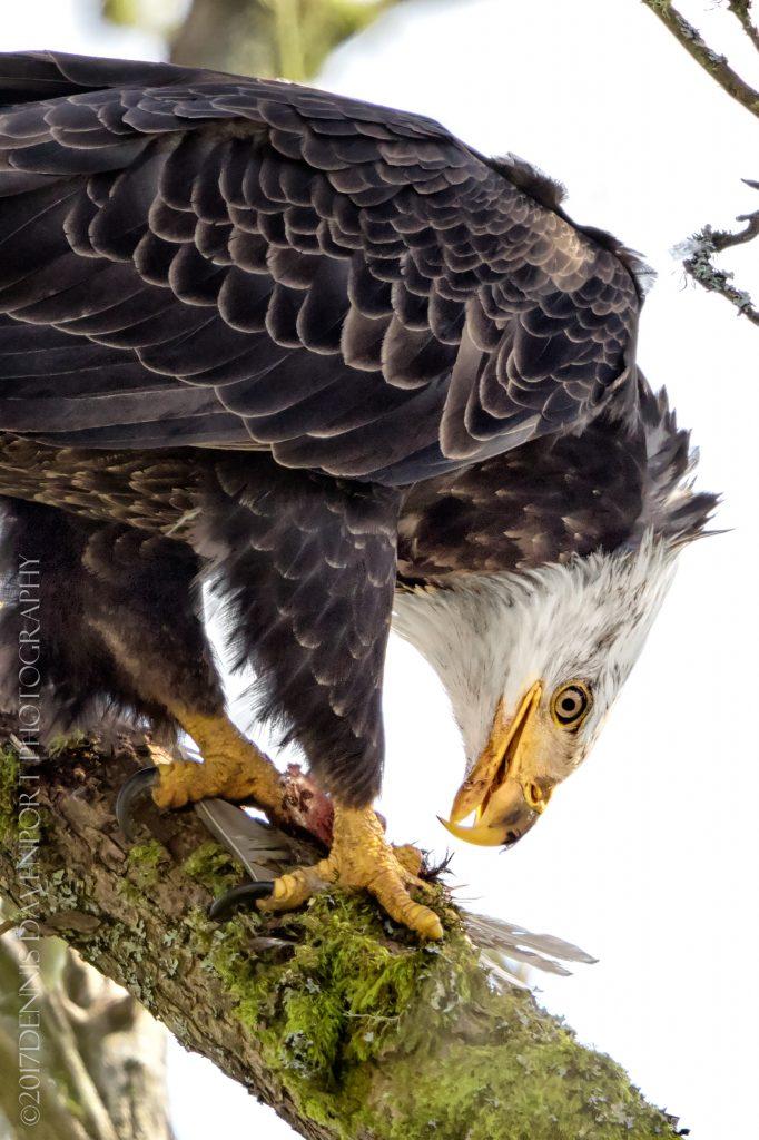 _DM20865-Edit20170310RNWR  bald eagle with catch prey