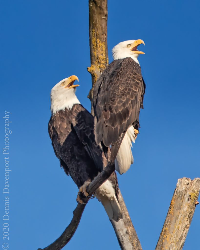 9B8A1536-Edit   Bald Eagle pair calling out